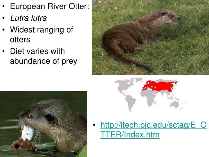 European River Otter: