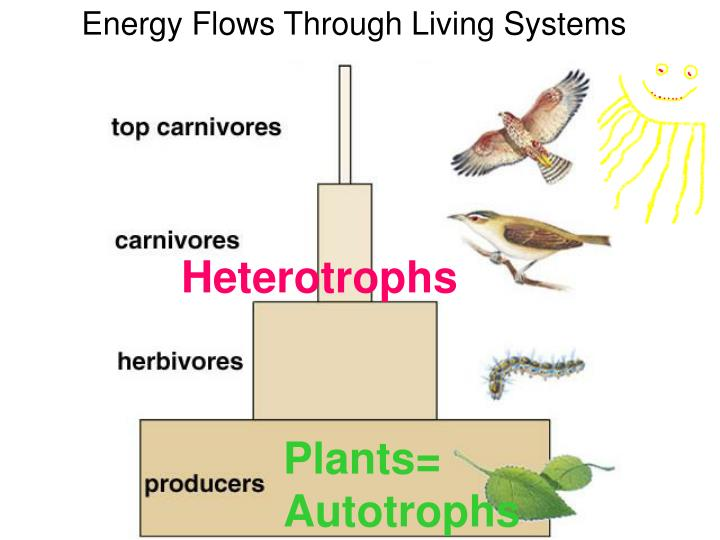 Energy Flows Through Living Systems