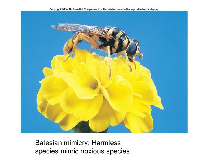 Batesian mimicry: Harmless species mimic noxious species