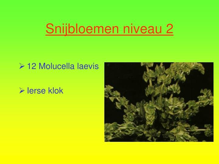 12 Molucella laevis