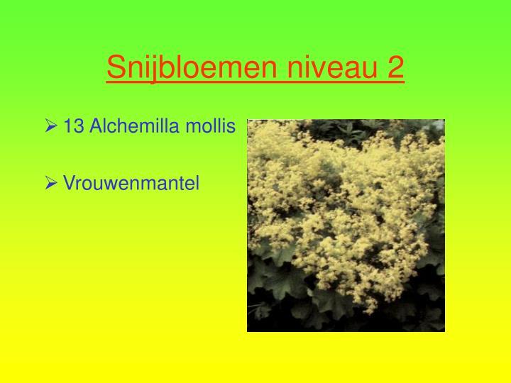 13 Alchemilla mollis