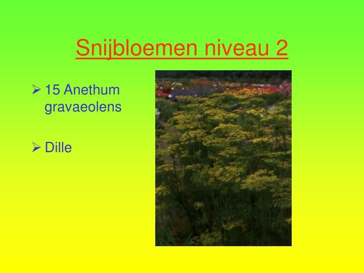 15 Anethum gravaeolens