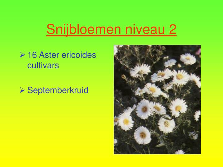 16 Aster ericoides cultivars