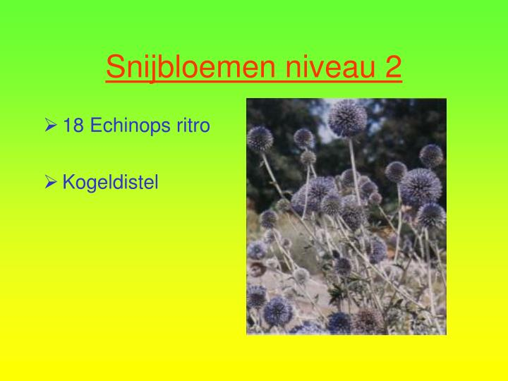 18 Echinops ritro