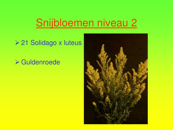 21 Solidago x luteus