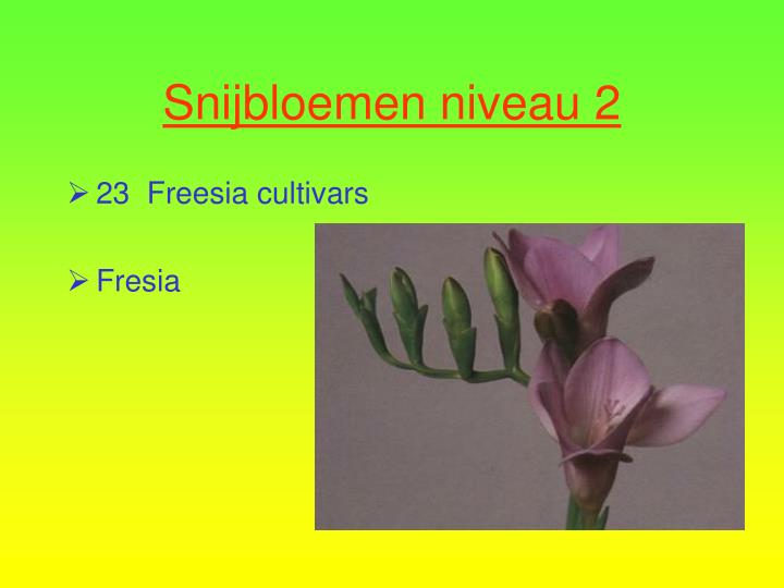 23  Freesia cultivars