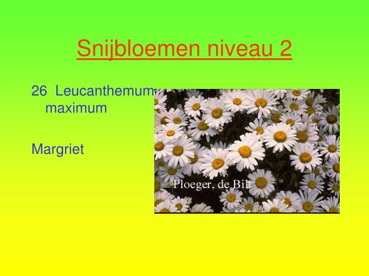 26  Leucanthemum maximum