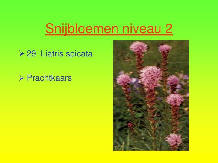 29  Liatris spicata