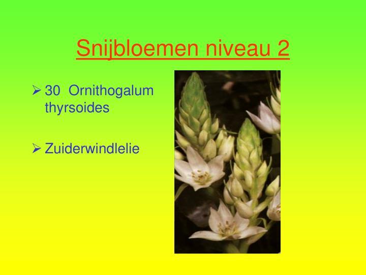 30  Ornithogalum thyrsoides