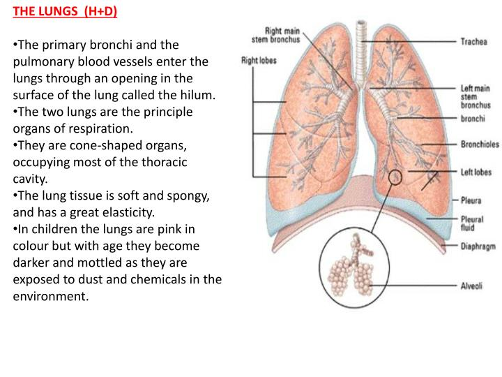 THE LUNGS  (H+D)