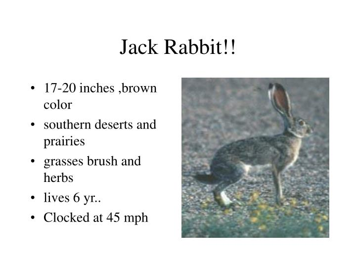Jack Rabbit!!
