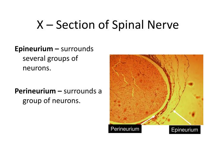 X – Section of Spinal Nerve