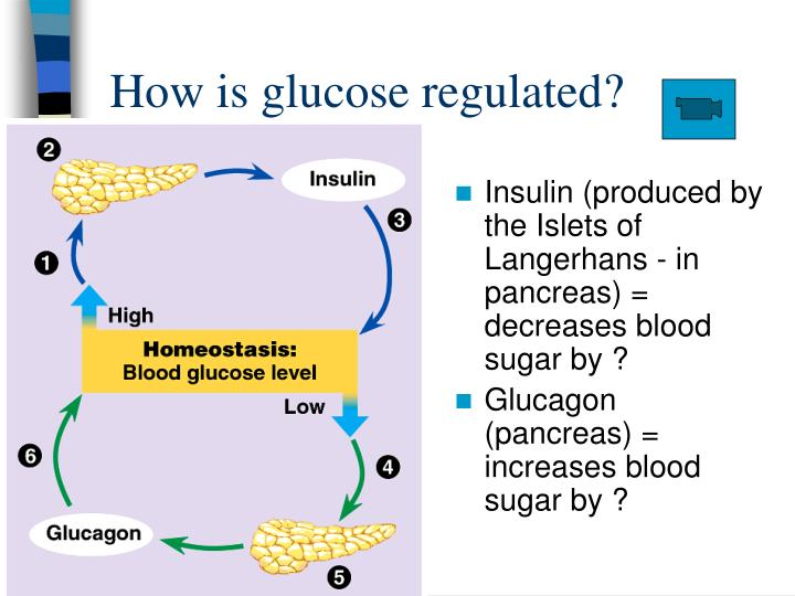 How is glucose regulated?
