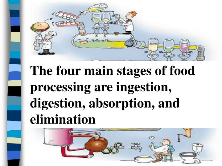 The four main stages of food processing are ingestion, digestion, absorption, and elimination
