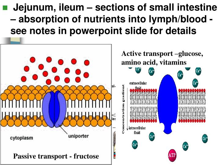 Jejunum, ileum – sections of small intestine – absorption of nutrients into lymph/blood - see notes in powerpoint slide for details