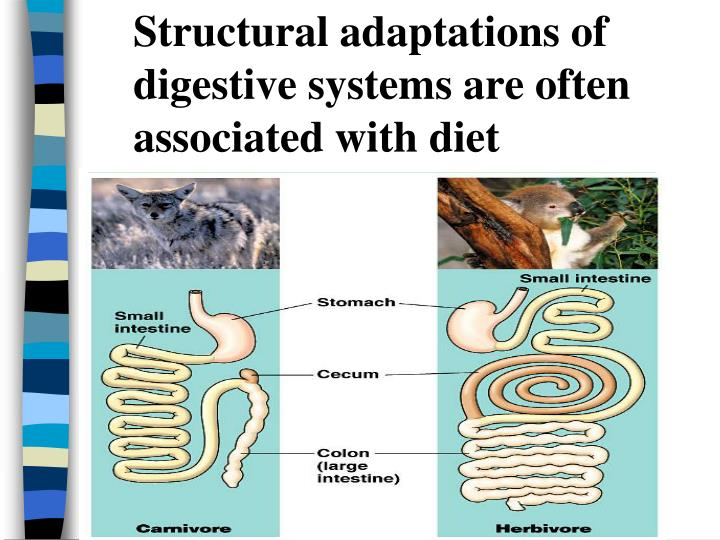 Structural adaptations of digestive systems are often associated with diet