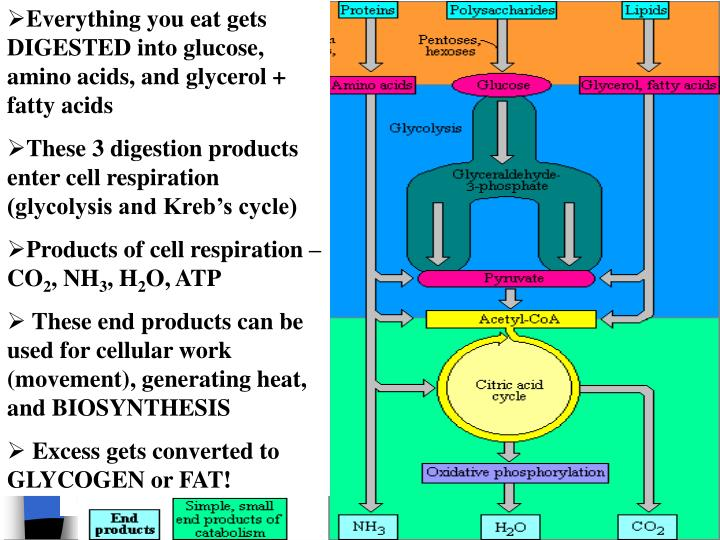Everything you eat gets DIGESTED into glucose, amino acids, and glycerol + fatty acids