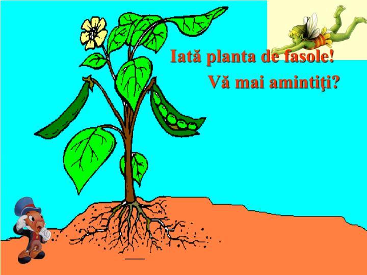 Iată planta de fasole!