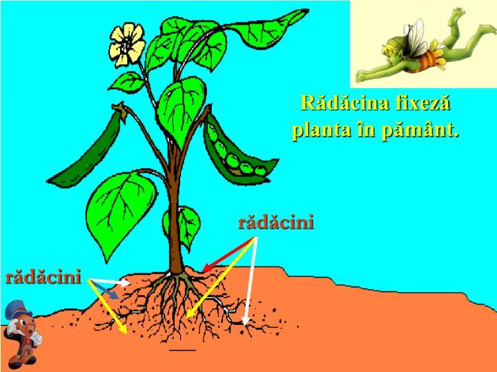 Rădăcina fixeză