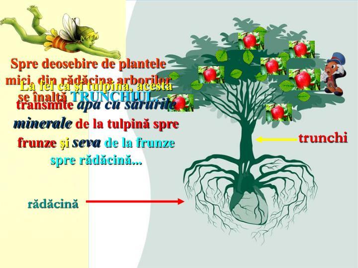 Spre deosebire de plantele mici, din rădăcina arborilor se înalţă