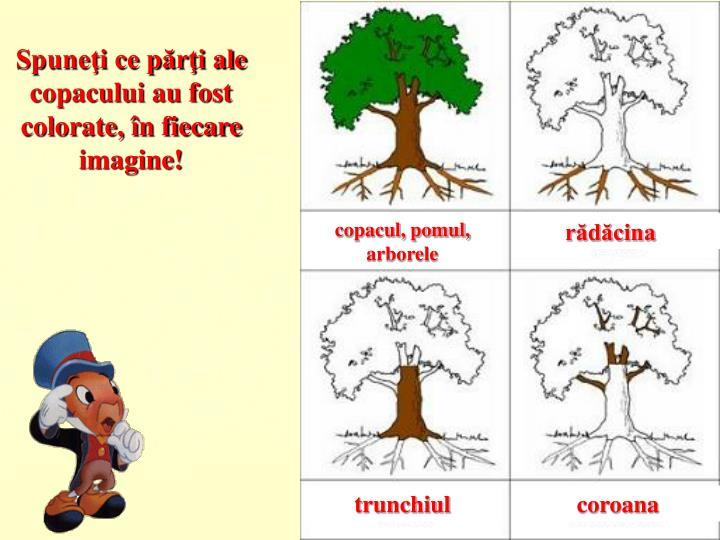 Spuneţi ce părţi ale copacului au fost colorate, în fiecare imagine!