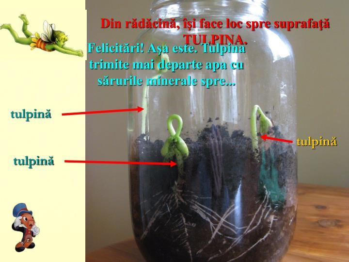 Din rădăcină, îşi face loc spre suprafaţă TULPINA.