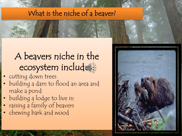 What is the niche of a beaver?