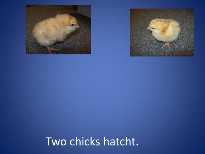 Two chicks hatcht