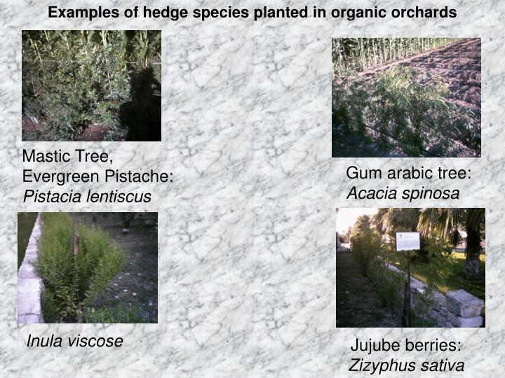 Examples of hedge species planted in organic orchards