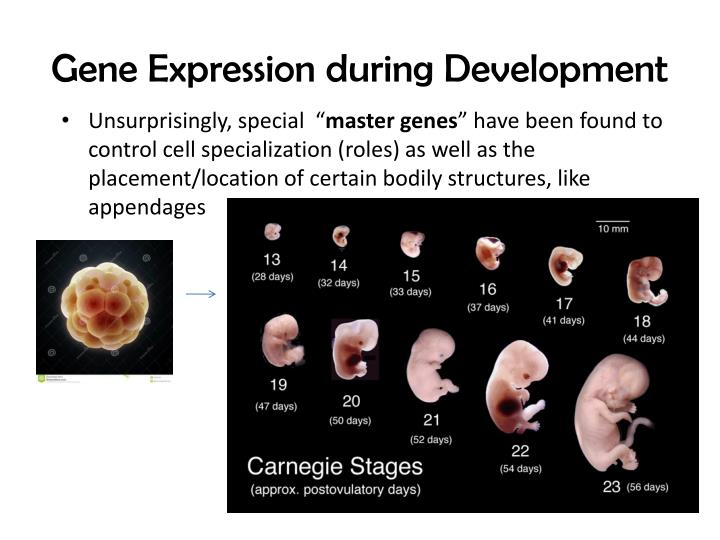 Gene Expression during Development