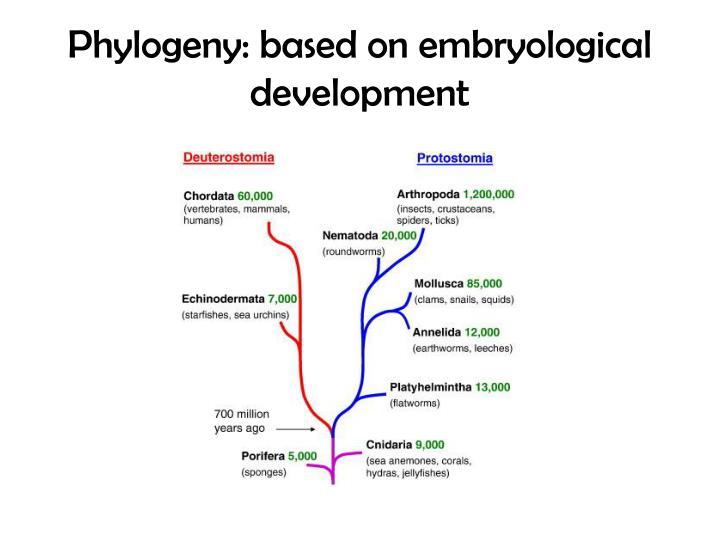 Phylogeny: based on embryological development