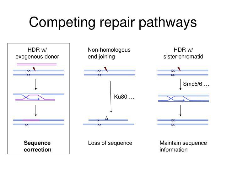 Competing repair pathways