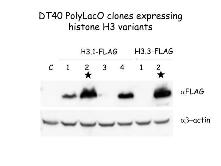 DT40 PolyLacO clones expressing