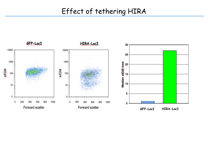 Effect of tethering HIRA