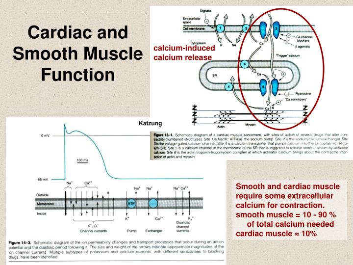 Cardiac and Smooth Muscle Function