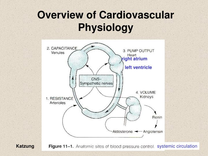 Overview of cardiovascular physiology
