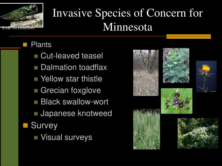 Invasive Species of Concern for Minnesota