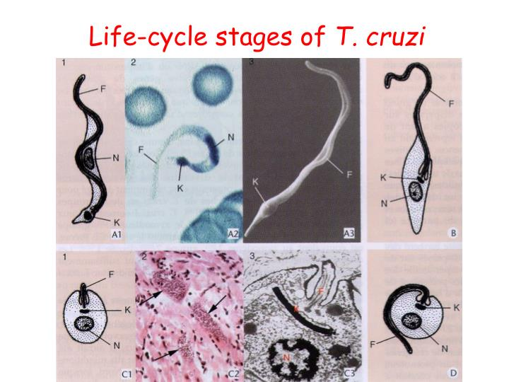 Life-cycle stages of