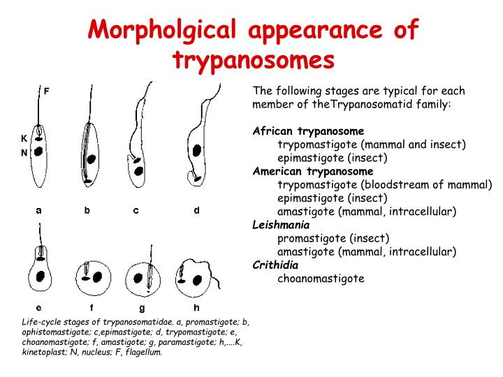 Morpholgical appearance of trypanosomes