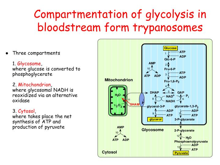 Compartmentation of glycolysis in bloodstream form trypanosomes