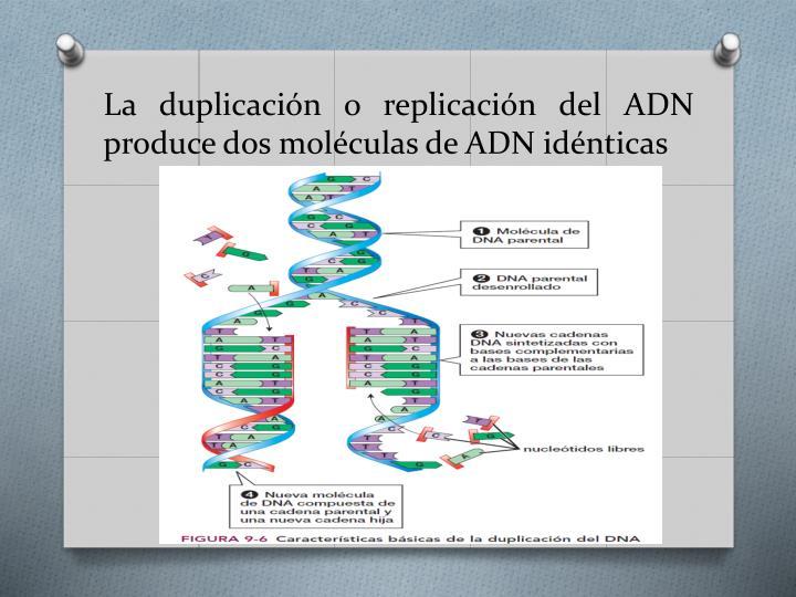 La duplicación o replicación del ADN produce dos moléculas de ADN idénticas