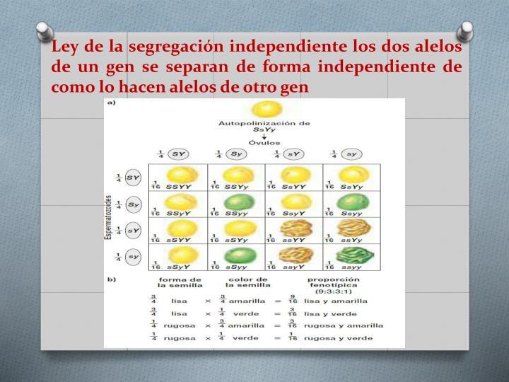 Ley de la segregación independiente los dos alelos de un gen se separan de forma independiente de como lo hacen alelos de otro gen
