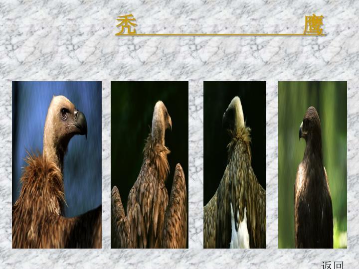 秃               鹰