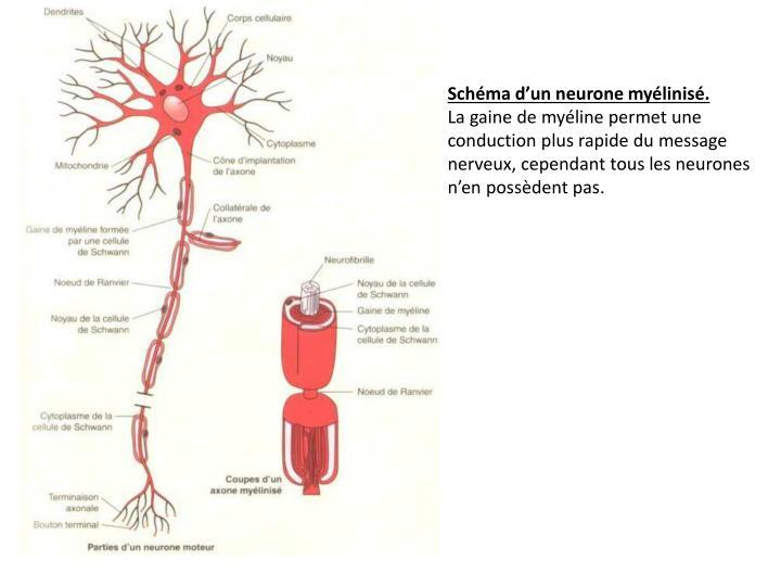 Schéma d'un neurone myélinisé.