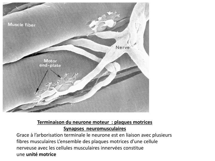 Terminaison du neurone moteur  : plaques motrices