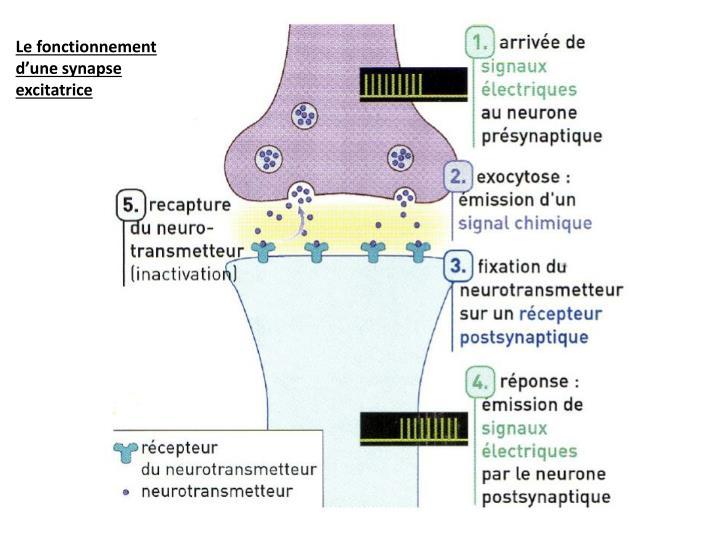 Le fonctionnement d'une synapse excitatrice