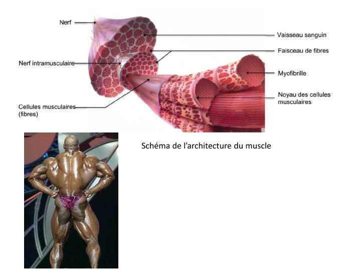 Schéma de l'architecture du muscle