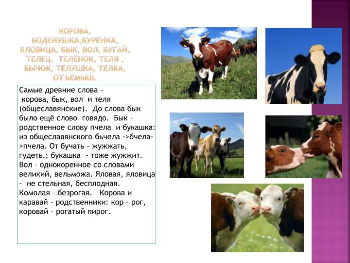 Корова,
