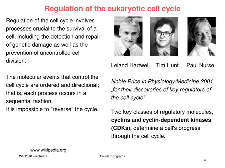 regulation in eukaryotic cells Read this science essay and over 88,000 other research documents regulation in eukaryotic cells gene expression is the ability of a gene to produce a biologically active protein.