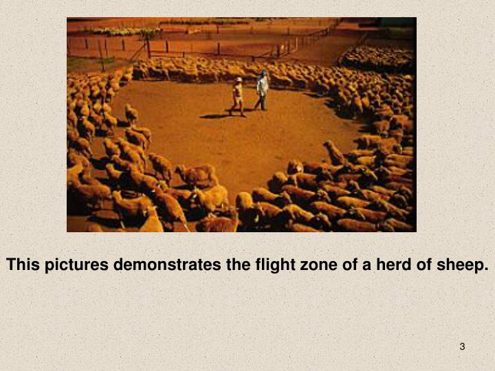 This pictures demonstrates the flight zone of a herd of sheep.